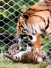 Sumatran tiger Aryo and one of his cubs (John van Beers) Tags: zoo cub tiger arnhem thenetherlands lara sumatrantiger tijger janine burgerszoo dierentuin gelderland aryo welp sumatraansetijger