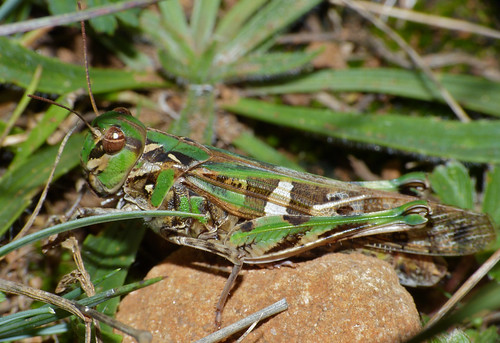 Grasshopper (Oedaleus decorus) female