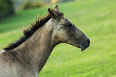 ... (Wael Massalkhi) Tags: horses playing mom jumping running colt stallion babyhorse foal