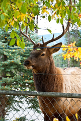 Unimpressed Elk (aitramah) Tags: canada tree nature animal jasper deer antlers alberta elk verticalphotography verticalnature
