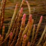 Glasswort / pickleweed thumbnail