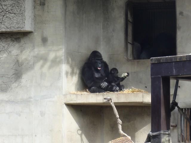 ゴリラ舎へいくとお母さんと赤ちゃんが一緒に外に出ていました。|名古屋市東山動植物園