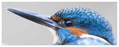 Martin pêcheur (Alcedo atthis) Kingfisher (Denis.R) Tags: france canon 300mm kingfisher lorraine moselle alcedoatthis martinpêcheur denisr 5dmarkiii denisrebadj