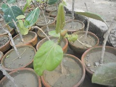 Cuttings of Banyan tree. (safwansh) Tags: pakistan birds education aves foundation ficus habitat biodiversity safwan kasur treesplantation