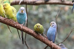 "Parakeets on a branch - Atlanta Zoo • <a style=""font-size:0.8em;"" href=""http://www.flickr.com/photos/30765416@N06/11392975335/"" target=""_blank"">View on Flickr</a>"