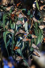 Monarch Butterflies (Norman Graf) Tags: california santacruz plant tree animal butterfly insect monarch eucalyptus danausplexippus naturalbridgesstatepark