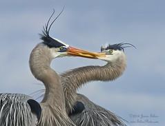 A Valentine's Day Kiss (Jamie Felton Photo) Tags: blue heron kiss ngc npc breeding greatblueheron plumage 70400mm specanimal specanimalphotooftheday
