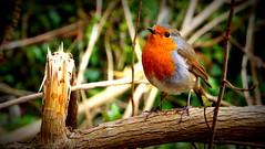 Robin, Wye Valley