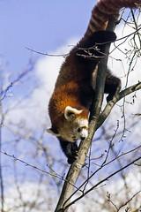 Roter Panda (FotoMarc64) Tags: zoo sony karlsruhe roterpanda alpha700
