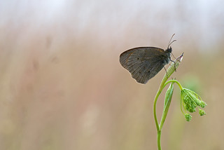 Maniola jurtina (Meadow Brown, Bruin zandoogje)