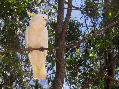 Cockatoo by salman.javed, on Flickr