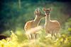 but darling, look! (andrew evans.) Tags: morning light sunrise golden nikon kiss deer 200 70 f28 d3