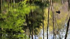 maruyama 063 (kaifudo) Tags: reflection japan sapporo nikon hokkaido  mandarinduck    d7100 nikond7100 sigma1835mmf18art