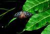 Vietnam - Gennaio 2014 - explore May 10, 2014 #231 (anton.it) Tags: verde foglie vietnam ali luce farfalla canong10 antonit