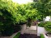 image (amt40) Tags: garden japanesemaple acer deciduous shrubs palmatum arcejaponés amt40