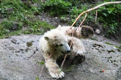 Eisbärbaby Nela 2014_05_10 020 (CarenPolarBears) Tags: ursusmaritimus tierfotografie eisbärgiovanna tierparkhellabrunnzoomunich carenpolarbears polarbeargiovanna eisbärenbabystierparkhellabrunn polarbearbabiesmunichzoo eisbärenzwillingenelanobby polarbeartwinsnelanobby