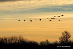 Goose Flock at Sunrise IMG_0556 R (CP Images) Tags: winter light sky color clouds geese flock flight migration sunrisesunset cpimages