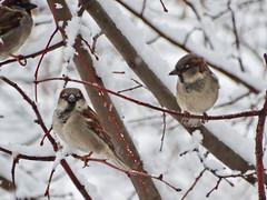 Воробьи. Sparrows. (agakaandrew) Tags: winter snow bird sparrow belarus minsk птицы минск зима снег воробей беларусь минскаяобласть