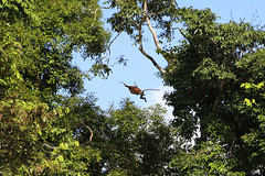 Jungle gliding (Sten Rettby) Tags: nose monkey fly big malaysia proboscis glide nasique borno kinabatang endmique nasalis larvatus cercopithecids