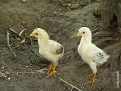 Terça-natureza (filhote) (sonia furtado) Tags: animal natureza ave filhote pintinhos utinga terçanatureza soniafurtado terçanaturezafilhote