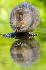 Water Vole - UK (iesphotography) Tags: uk cute nature water animal river cool eating wildlife awesome ace fluffy endangered vole naturephotography ratty watervole waterrat watervolephoto watervolephotograph pictureofawatervole