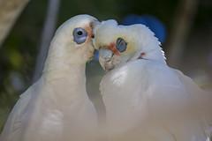 Gimme a kiss (vk2gwk - Henk T) Tags: bird animal australia nsw nelsonbay longbilled corella cacatuatenuirostris