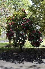 Howard Park, Kilmarnock. Red Rhododendron. (Phineas Redux) Tags: scotland kilmarnock ayrshire publicparks ayrshirescenes howardparkkilmarnock