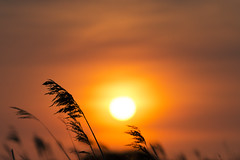 Sunset (137/366) (AdaMoorePhotography) Tags: sunset red england orange sun white reed nature beautiful yellow clouds reeds colours natural bright essex day137 366