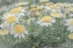 Blasses Gelb (wigerl) Tags: flowers light nature yellow 35mm austria licht photo sterreich europa europe fuji foto natur blumen krnten carinthia gelb tiffen 2016 xseries feldkirchen xt1 fuji35mm14 fujixt1