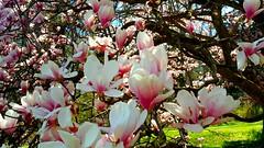 Saucer magnolia tree in full bloom at Springbank Park (Jim Shreve) Tags: pink ontario canada tree spring blossoms may magnolia londonontario 2016 springbankpark