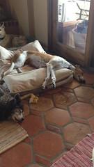Too darn hot outside! (Greyt Escape & Chella Bella Designs) Tags: arizona rescue greyhound escape tucson sighthound tucsonaz tucsonarizona greyhoundrescue greyt pointynose greytescape greyhoundresort greyhoundcamp greyhoundsofflickr