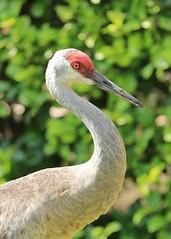 Bright Sandhill Crane Profile (groecar) Tags: sandhillcranes