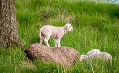 King/Queen of the hill (JohanKampe) Tags: summer green grass animal animals rock outside outdoors rocks warm sheep sweden sverige sten sommar motala fr djur grn stenar grs utomhus varmt