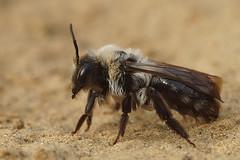 Andrena vaga , female at Kanaalbermen Bellem (henk.wallays) Tags: