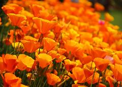 Poppies (Debmalya Mukherjee) Tags: orange flower poppy srinagar jammuandkashmir 18135 parimahal canon550d debmalyamukherjee