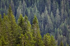 Backup. (Anscheinend) Tags: trees alps tree germany bayern deutschland bavaria alpen spruce fichte