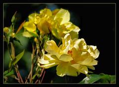 von der Sonne geksst !!! (karin_b1966) Tags: plant flower nature garden blossom natur pflanze blume blte garten 2016 yourbestoftoday rosegoldenglow