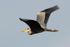 DSC_4695 Grey Heron (PeaTJay) Tags: birds outdoors reading tamron berkshire birdsofprey greyheron lowerearley carlsbirdclub nikond300s predatorywadingbird