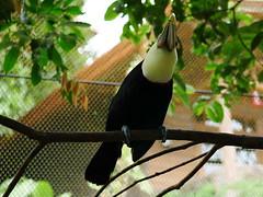 P1130531 (lychee_vanilla) Tags: bird animal garden toucan costarica lapaz tier waterfallgarden tucn blackmandibledtoucan ramphastosambiguus vigel quioro tucnpiconegro
