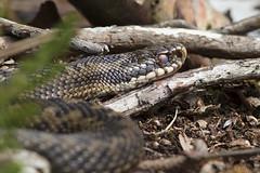 Adder Female (kevinclarke1969) Tags: reptile yorkshire hatfield viper adder berus snakle