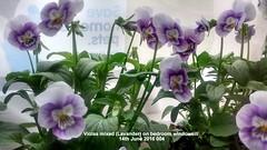 Violas mixed (Lavander) on bedroom windowsill 14-06-2016 004 (D@viD_2.011) Tags: june bedroom windowsill 2016 violas