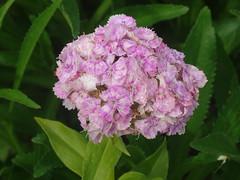 DSC00639 (gregnboutz) Tags: flowers flower macro macros brightflowers macroflowers bloomingflower gardenflower bloomingflowers colorfulflower colorfulmacros