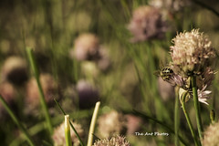 Bee at lunch (The Ant Photos) Tags: travel blue france macro nature grass garden insect bee reportage assigment