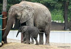 Olifantje Madiba  4 weken oud (ditmaliepaard) Tags: sony moeder safaripark beeksebergen madiba hilvarenbeek olifantje a6000