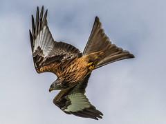 Incoming Kite - a sad story (davidrhall1234) Tags: bird nature birds nikon wildlife raptor birdsofprey redkite wildlifetrust harewood rspb birdsofbritain nikond7100