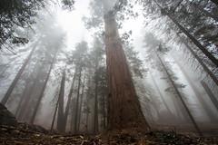 Life of Giants (Kamil Dziedzina Photos) Tags: forest nationalpark giants sequoia sequoianationalpark