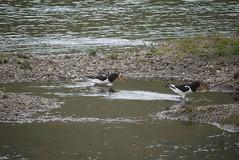Austernfischer (a-r-a-55) Tags: birds animals scotland tiere schottland glenlyon grosbritannien