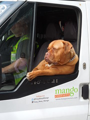 "London Streets, May 2016: ""Alright, mate?"" (roger.w800) Tags: city dog chien london citylife citystreets southwark se1 londonstreets londonse1 cardog doguedebordeaux frenchmastiff dogdebordeaux onlyinlondon flickrunitedaward lifeinacity doginavan streetsinacity foxyroxymango vehicledog"
