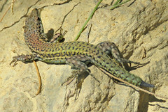 Multi-Coloured! ('cosmicgirl1960' NEW CANON CAMERA) Tags: brown green animals spain toes wildlife espana scales costadelsol andalusia creatures lizards reptiles marbella yabbadabbadoo