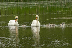 Swans and 6 cygnets (Graham Dash) Tags: birds surrey swans cobham muteswans painshill